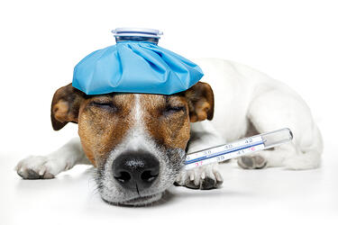 bigstock-sick-dog-33362393