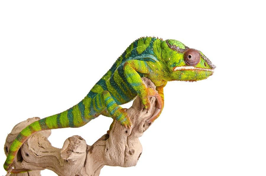 bigstock-Colorful-chameleon-36865622.jpg
